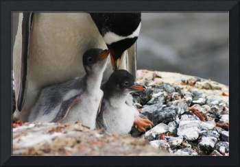 Adult gentoo penguin with chicks
