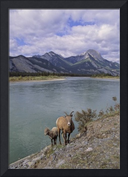 Bighorn Sheep with young