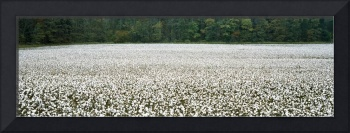 Cotton Crop Madison County TN