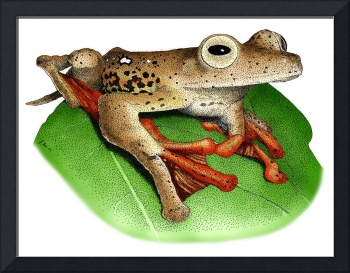 Borneo Red Flying Frog