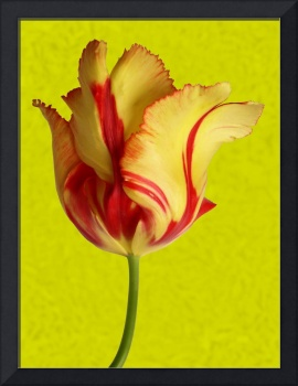 Parrot Tulip in Gold