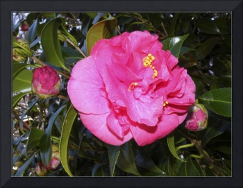Camellia and Buds