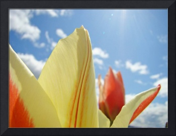 Tulip Flowers art prints Blue Sky Floral