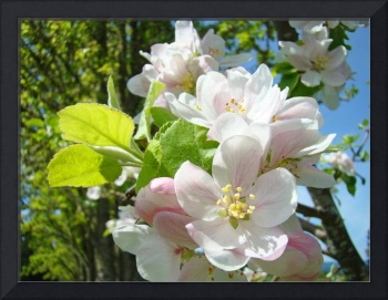 Spring Apple Tree Blossoms Flowers art prints