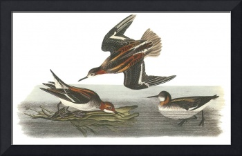 Red-Necked Phalarope Bird Audubon Print