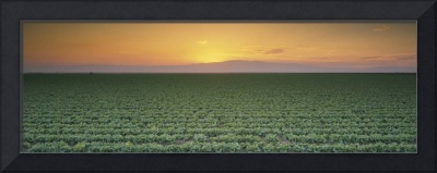 lettuce field at sunset, San Joaquin Valley, Calif