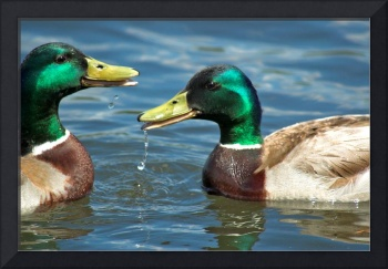 A Couple of Mallards