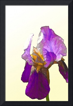 Isolated Purple Bearded Iris