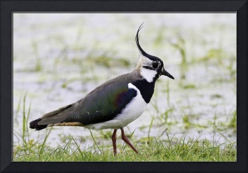 Northern Plover, Green Lapwing, or Peewit, Kent, E