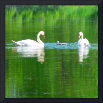 Swans and Cygnets 1