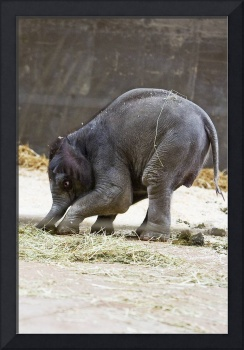 Baby elephants Beco hunts for lunch