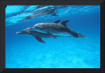 Caribbean, Bahamas, Pair Of Spotted Dolphins Under