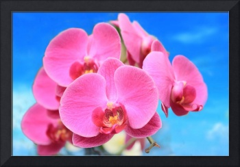 Pink Orchid Blue Sky