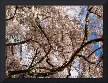 Mass of Cherry Blossoms, University of Washington