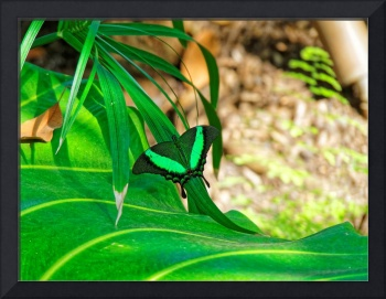 Green Banded Peacock Butterfly