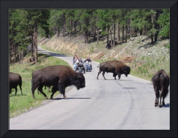 Buffaloes and Bikers