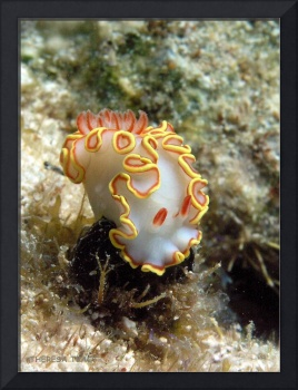Nudibranch - Red Tipped Sea Goddess