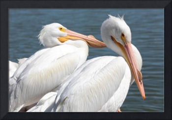 Two White Pelicans best