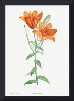 Orange Bulbous Lily Vintage Botanical