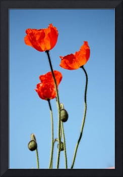 Poppies in the Sun 7967