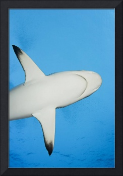 Micronesia, Yap, Silhouette Of A Grey Reef Shark
