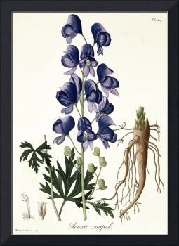 Aconitum Napellus from 'Phytographie Medicale'