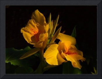 Yellow Cannis Lilly