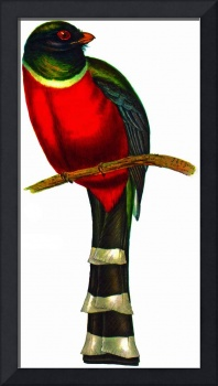 Mountain Trogon (Trogon mexicanus)