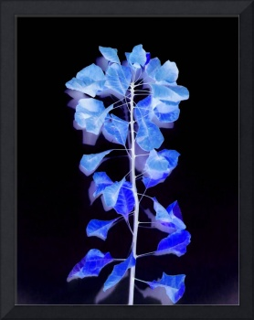 Smokebush in Blue