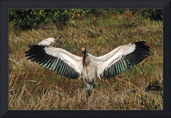 Wood Stork Spreads Wings