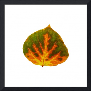 Green Orange and Yellow Aspen Leaf 1