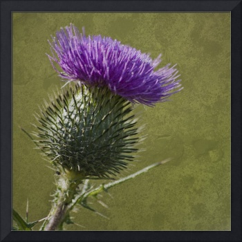 Spear Thistle with texture