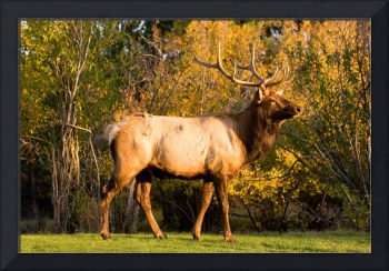 Bull Elk in Golden Light