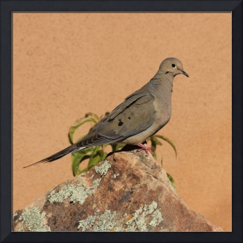 Portrait of a Mourning Dove IMG_4199
