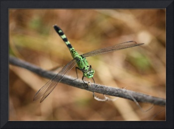 Green Dragonfly on Twig
