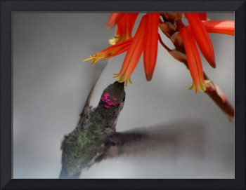 Hummingbird and Orange Torch Lily