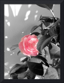 Pink Camellia Flower and Shadow
