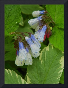 Spring Beauty Virginia Bluebells
