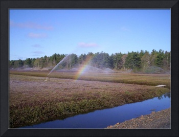 Irrigating cranberry field and rainbow