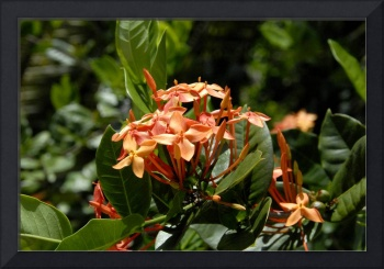 Cayman Islands Plant Life : Orange Ixora