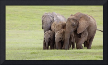 A Family Of Elephants, Africa