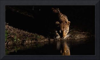 An African Leopard in South Africa