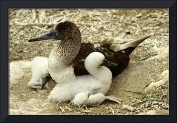 Adult Blue Footed Boobie and Chicks