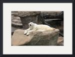 Resting Polar Bear by Rich Kaminsky