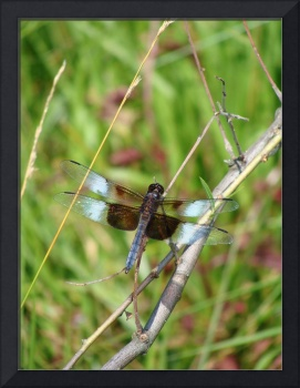 Blue on Black Dragonfly