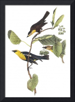 Yellow-Headed Blackbird Audubon Print
