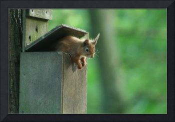 Red Squirrel Baby in a Box