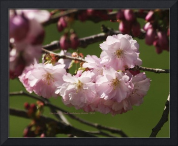 pink cloud cherry blossom