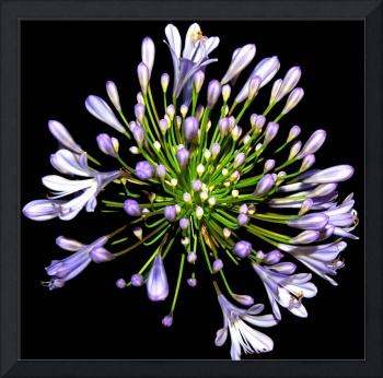 Purple Allium Hybrid Flower