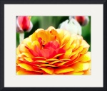 Red and Yellow Ranunculus by John Corney